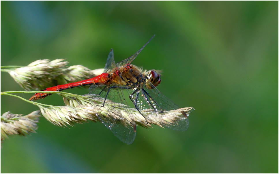 Sympetrum strie zs1